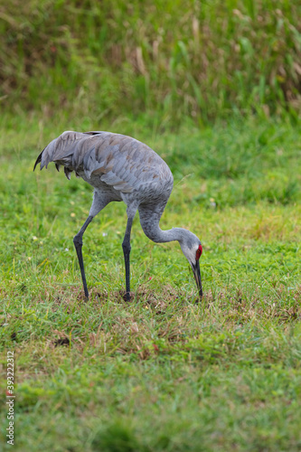 Fototapeta premium Close-up of Sandhill Cranes foraging for insects in the soft sandy soil in a pasture in Florida