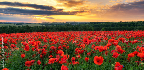 Fototapeta Beautiful poppy field during sunset obraz na płótnie