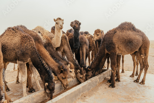Group of camels drinking water on a gloomy day in desert Fotobehang