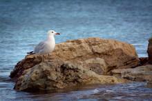 Closeup Shot Of A Seagull Stan...