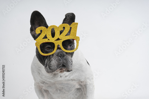 Fototapeta Cute little bulldog wearing a 2021 glasses obraz