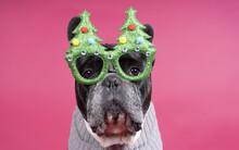 Cute Little Bulldog Wearing A ...
