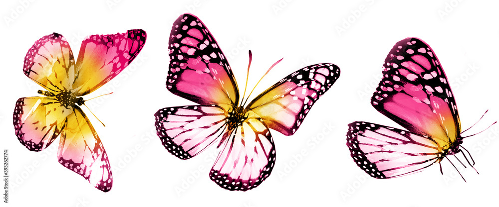 Fototapeta Three watercolor butterflies, isolated on white background