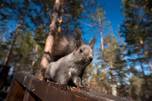 The Grey Squirrel Guards Its N...
