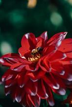 Closeup Shot Of Honey Bees On Red Dahlia