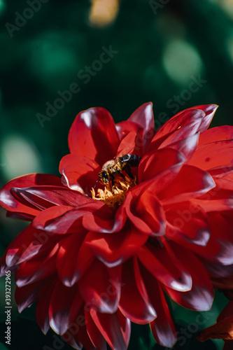 Fotografija Closeup shot of honey bees on red dahlia