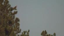 Osprey Flying Flight Taking Off South Dakota Forest Pine