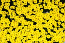 小さな黄色いたくさん...