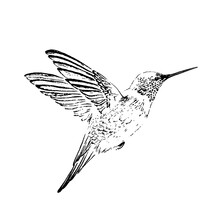 Humming-bird Engraving Style. ...