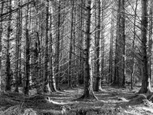 Pinewood Autumn Detail Showing Forest Floor. Black And Whiet Monochrome. Infrared.