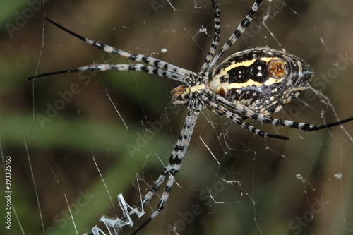 A giant spider eats small insects in its web Fototapeta