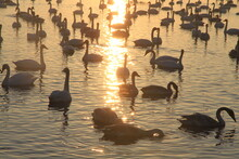 Swans On The Lake At Sunset Time