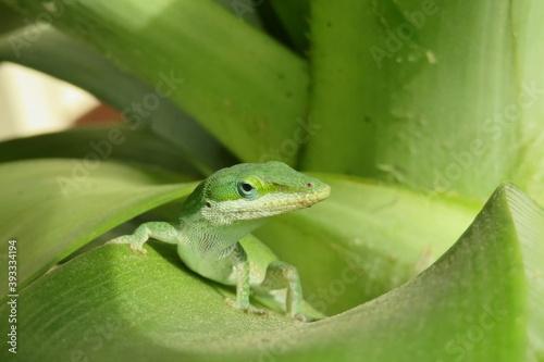 Green anole lizard on a leaf, closeup Fototapet