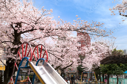 Fotografie, Obraz 満開の桜と新城公園(神奈川県川崎市中原区新城)