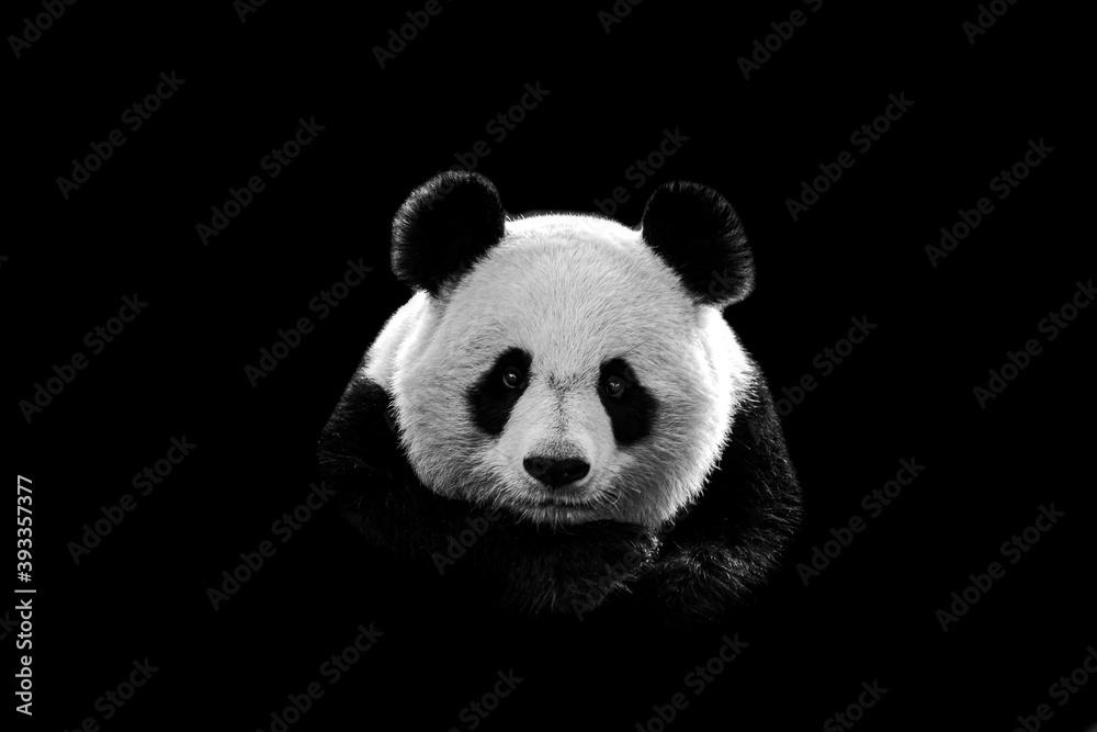 Fototapeta Portrait of panda with a black background