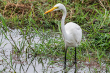 Great Egret Standing Erect And Poised To Strike As It Scans For Potential Prey Amongst The Shallow Reeds