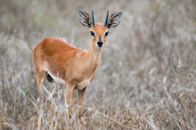 Steenbok In The Open Standing ...