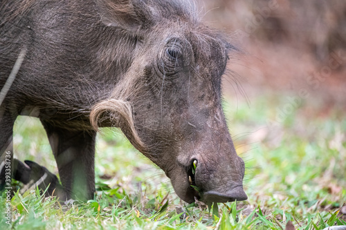 Fotografiet Portrait of a warthog on its knees grazing on shortly cropped fresh green grass