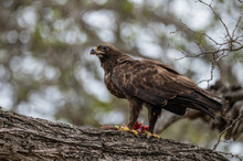 Lesser Spotted Eagle Looking U...