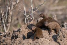 Dwarf Mongoose Family On Top O...