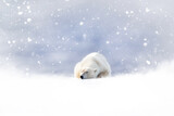 Fototapeta Na drzwi - Fantasy scene of a polar bear resting in the snow. Dreamy falling snow background with space for text. Seasonal images for Christmas and winter projects.