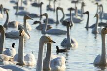 Swan Lake In Iran