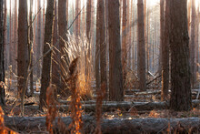 Sunlit Tall Plant Among Pines And Fallen Tree Trunks