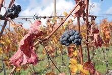 Piccoli Grappoli D'uva Dimenticati Sulle Piante Dopo La Vendemmia