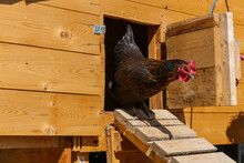Rooster Walking Down Chicken Coop Ramp