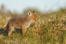 Red Fox Cub In Nature At Springtime On A Sunny Day.