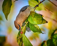 Cedar Waxwing (Bombycilla Cedrorum) Feeding On A Berry Bush.