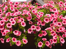 Pink Petunia, Surfinia Flowers Cascading From The Balcony Terrace