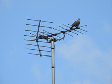 The Pigeon Sits On The Tv Antenna