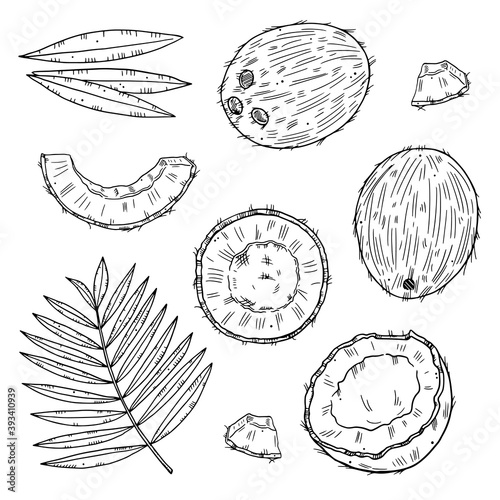Fototapeta Set of ripe coconut in different types with leaves. Black outline isolated on white background. obraz
