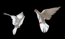 Two White Dove Sacred Bird Fly...