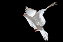 White Sacred Dove Flying On Bl...