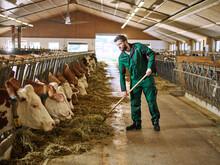 Farmer Feeding Cows In Stable ...