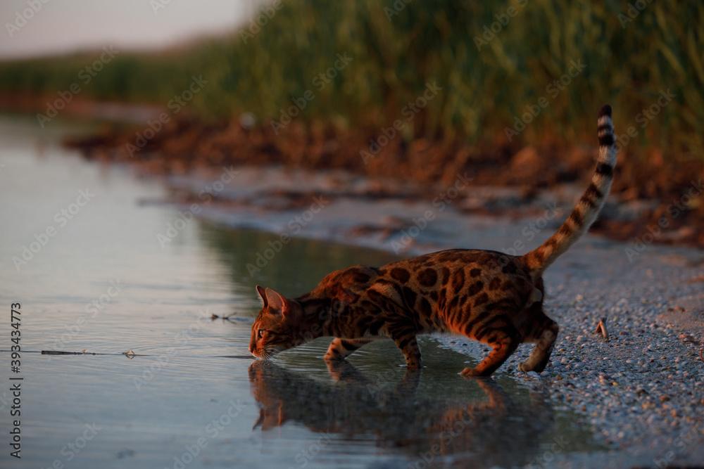 Fototapeta Cat walking on the beach