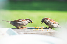 Sparrows Eating On A Table