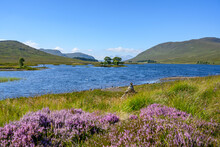 Heather Blooming On Shore Of Loch Droma In Summer