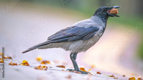 Foto Crow with a nut in his beak on a light background.