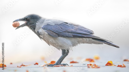 Fotografia Crow with a nut in his beak on a light background.