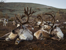 Many Wild Reindeers Taking Rest