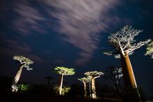 Baobab Avenue At Night Illumin...