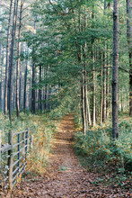 Path Though Pine Tree Forest