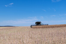 Harvesting Of Canola Fields In...