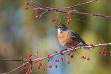 American Robin Feeding On Red ...