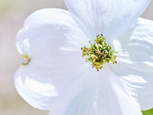 Close Up On Dogwood