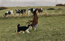 Girl With A Dog Walking Near Herd Of Cows