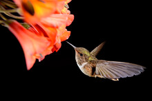Hummingbirds Flying Around A Beautiful Flower